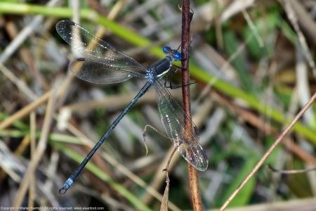Great Spreadwing damselfly (male)