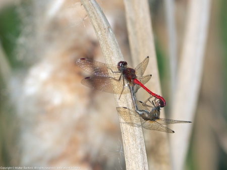 Autumn Meadowhawk dragonflies (mating pair, in wheel)