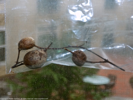 Parasitic insect galls and gall wasps