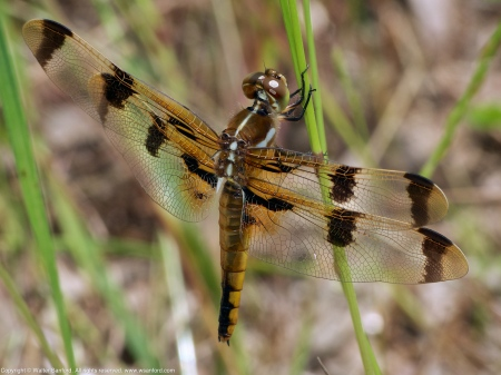 Painted Skimmer dragonfly (female)