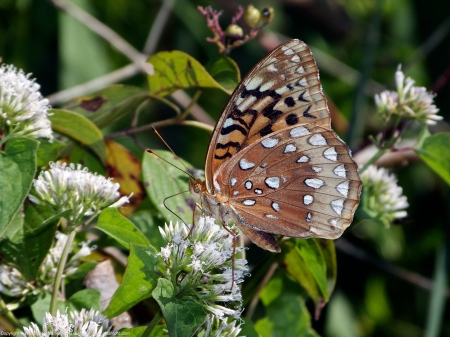 Great Spangled Fritillary butterfly (feeding on climbing hempvine)