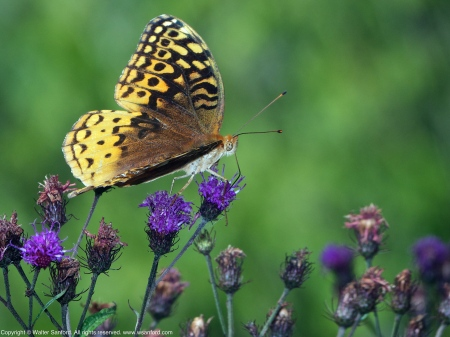 Great Spangled Fritillary butterfly (feeding on Ironweed)