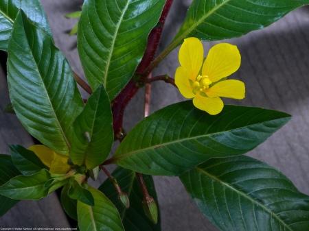 Creeping Water Primrose (Ludwigia peploides)