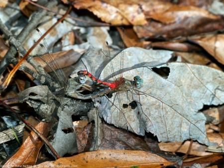 Blue-faced Meadowhawk dragonflies (mating pair, in wheel)