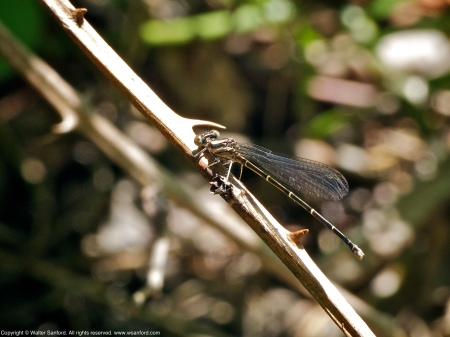 Blue-tipped Dancer damselfly (female)