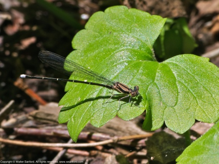 Blue-tipped Dancer damselfly (male)