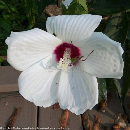 Marshmallow flowers (Althaea sp.)