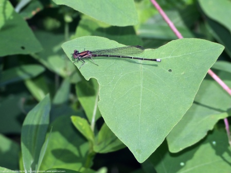 Blue-tipped Dancer damselfly (young male)