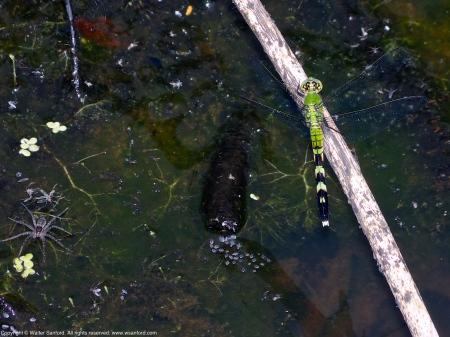 Eastern Pondhawk dragonflies (female, resting after copulation)