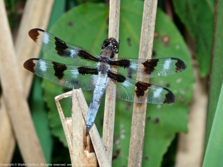 Twelve-spotted Skimmer dragonfly (adult male)
