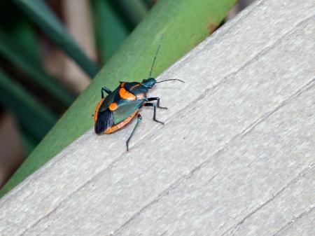 Florida Predatory Stink Bug (Euthyrhynchus floridanus)