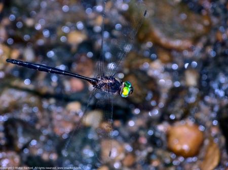 Mocha Emerald dragonfly (Somatochlora linearis)