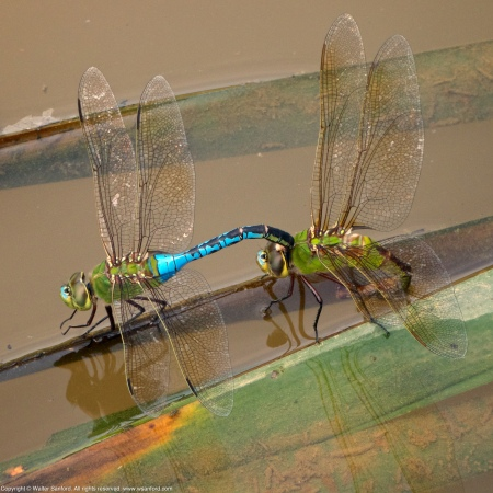 Common Green Darner dragonflies (mating pair, in tandem)