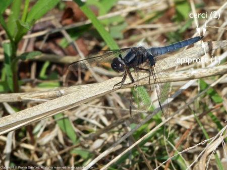 Blue Corporal dragonfly (male)