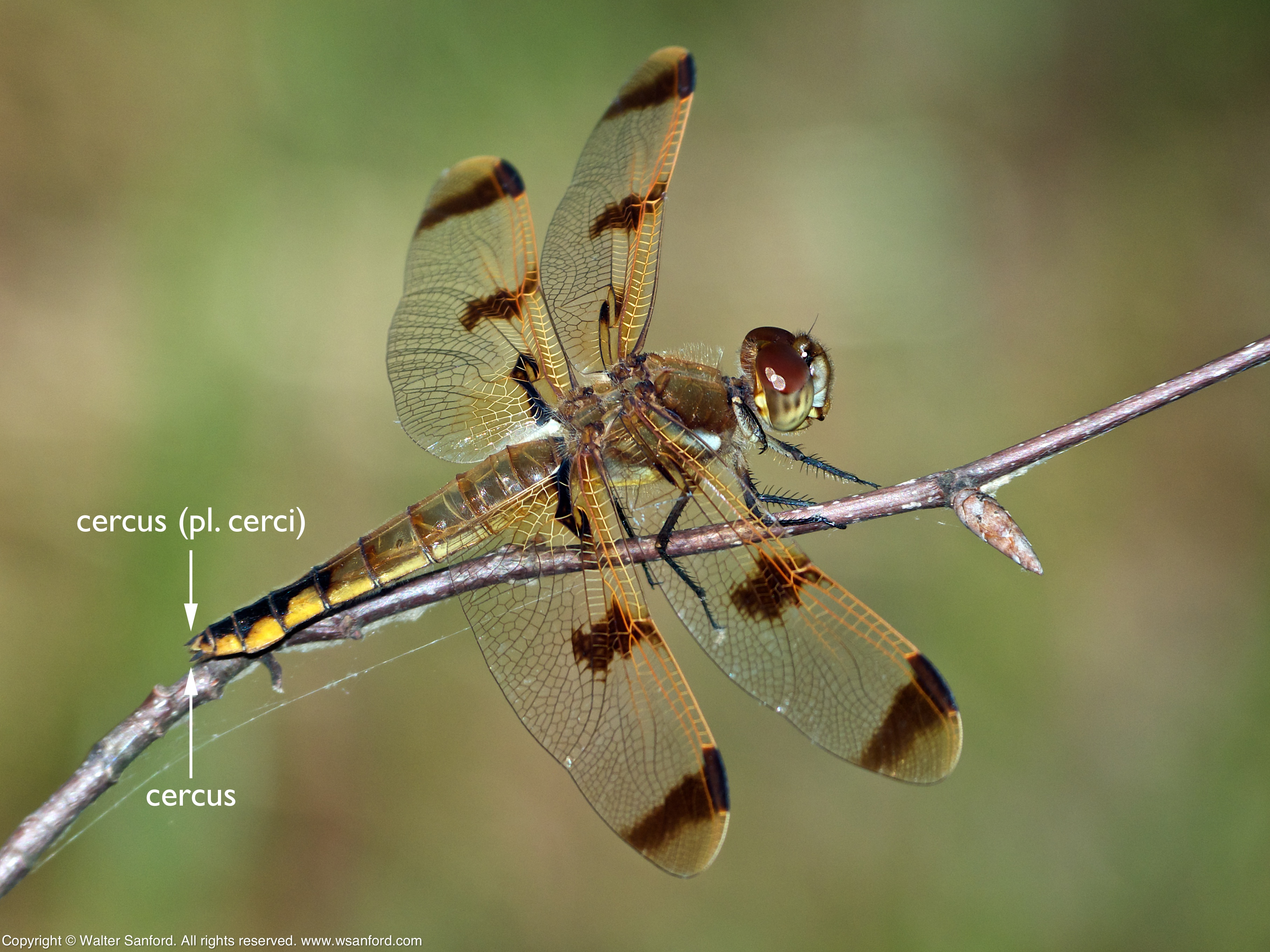 Dragonfly terminal appendages (male, female) | walter sanford\'s ...