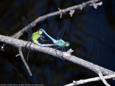 Eastern Pondhawk dragonflies (mating pair, in wheel)
