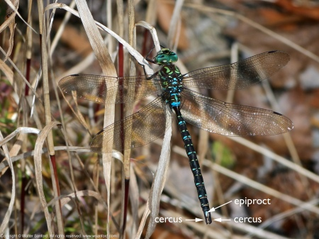 Shadow Darner dragonfly (male)