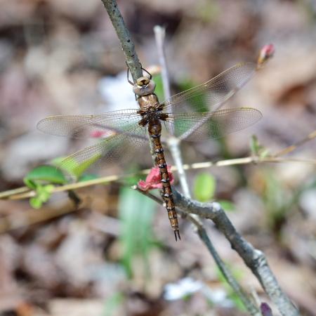 Springtime Darner dragonfly (female)