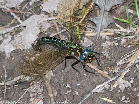 Swamp Darner dragonfly (female, oviposition)