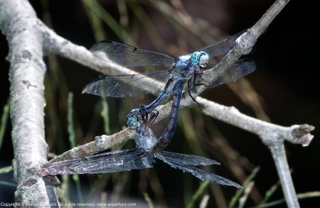 Great Blue Skimmer dragonflies (mating pair, in wheel)