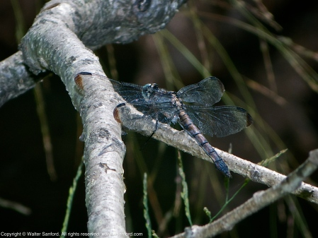 Great Blue Skimmer dragonfly (old female, resting after copulation)