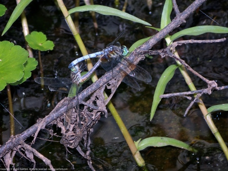 Blue Dasher dragonflies (mating pair, in wheel)