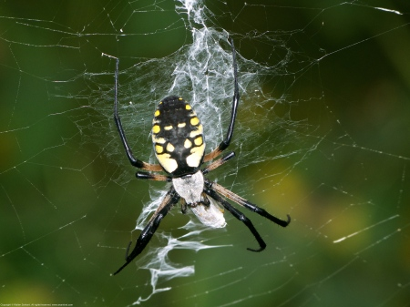 Black and Yellow Argiope spider (Argiope aurantia)