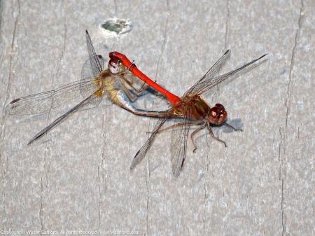 Autumn Meadowhawk dragonflies (mating pair, in wheel)