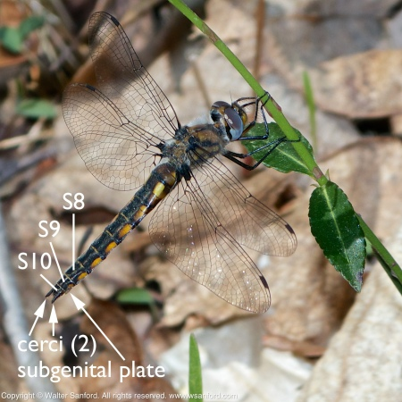 A Common Baskettail dragonfly (Epitheca cynosura) spotted at Huntley Meadows Park, Fairfax County, Virginia USA. This individual is a female.