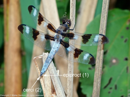 A Twelve-spotted Skimmer dragonfly (Libellula pulchella) spotted at Huntley Meadows Park, Fairfax County, Virginia USA. This individual is an adult male.