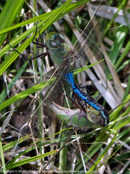 Common Green Darner dragonflies (mating pair, in wheel)