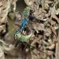 Common Green Darner dragonflies (mating pair, in wheel)