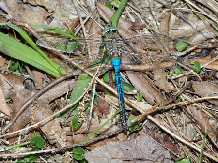 Common Green Darner dragonfly (male, malformed wing)