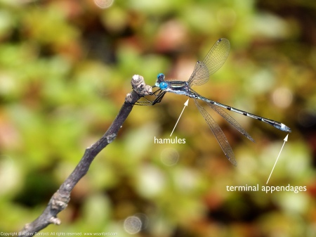A Southern Spreadwing damselfly (Lestes australis) spotted at Huntley Meadows Park, Fairfax County, Virginia USA. This individual is a male.