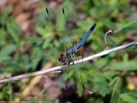 A Blue Dasher dragonfly (Pachydiplax longipennis) spotted at Huntley Meadows Park, Fairfax County, Virginia USA. This individual is a young male.