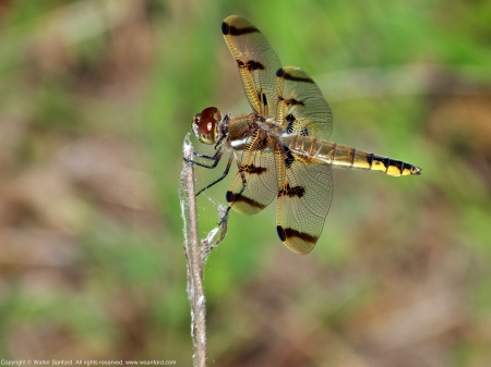 A Painted Skimmer dragonfly (Libellula semifasciata) spotted at Huntley Meadows Park, Fairfax County, Virginia USA. This individual is a female.