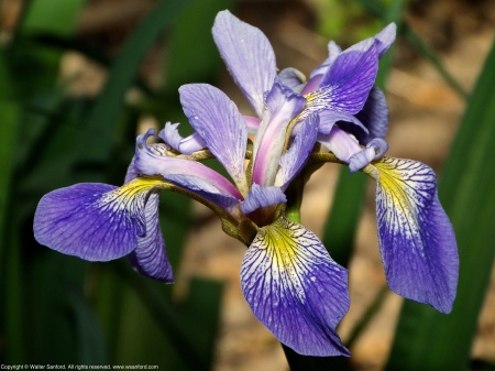 Blue Flag Iris (Iris virginica) spotted at Huntley Meadows Park, Fairfax County, Virginia USA.
