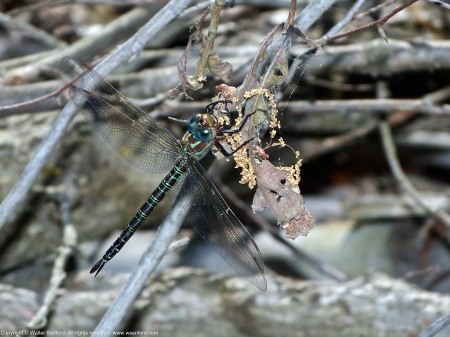 A Swamp Darner dragonfly (Epiaeschna heros) spotted at Huntley Meadows Park, Fairfax County, Virginia USA. This individual is a female.