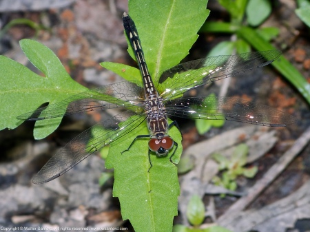 A Blue Dasher dragonfly (Pachydiplax longipennis) spotted at Huntley Meadows Park, Fairfax County, Virginia USA. This individual is a teneral female.