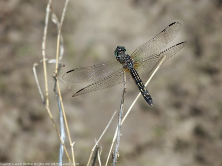 A Blue Dasher dragonfly (Pachydiplax longipennis) spotted at Huntley Meadows Park, Fairfax County, Virginia USA. This individual is a female.
