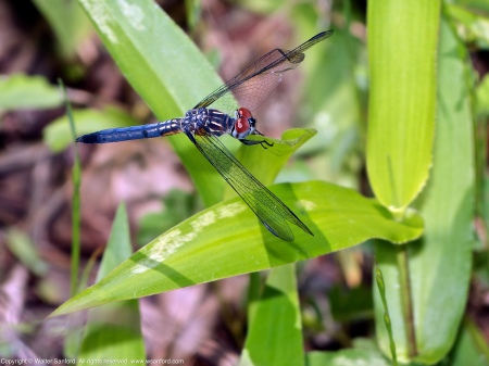 A Blue Dasher dragonfly (Pachydiplax longipennis) spotted at Huntley Meadows Park, Fairfax County, Virginia USA. This individual is a young male with a malformed wing.
