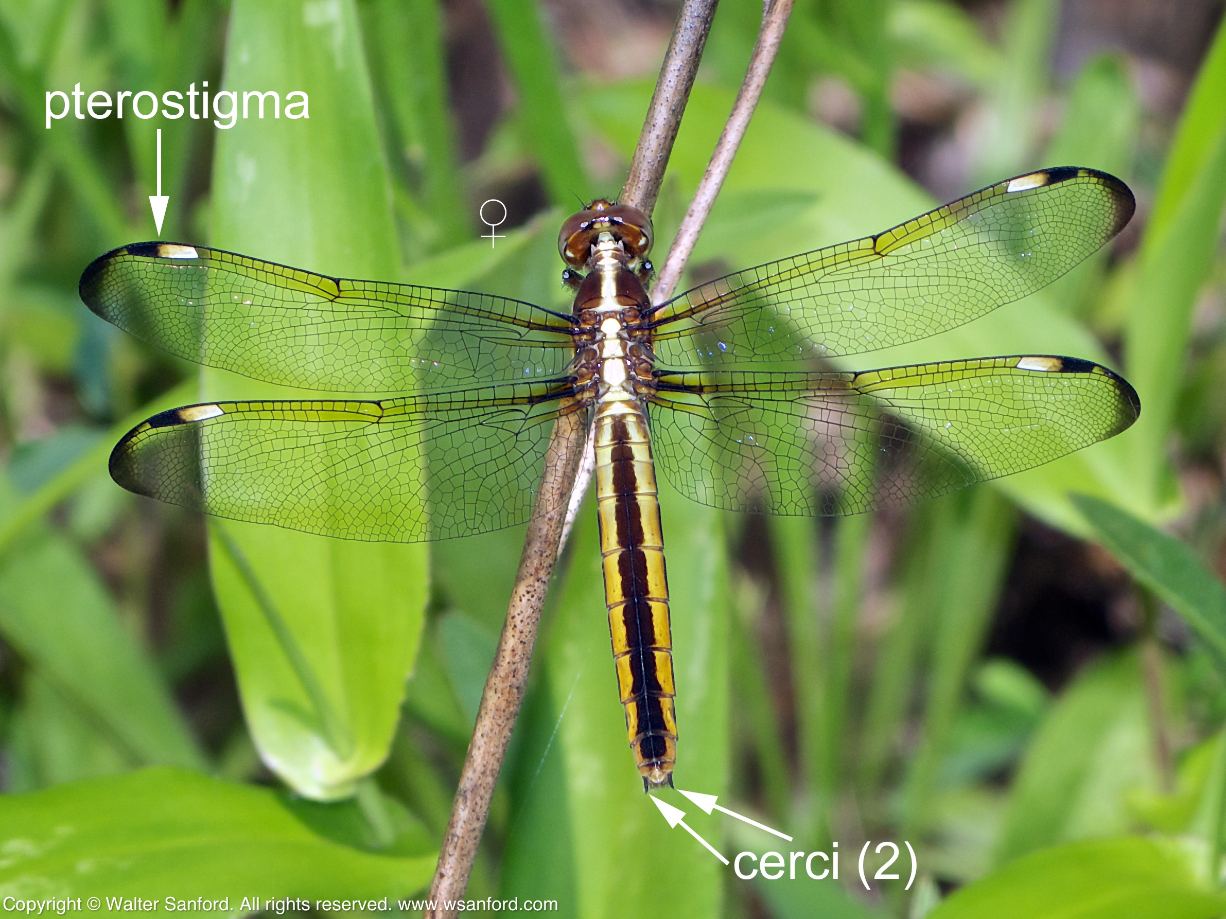 Spangled Skimmer dragonfly terminal appendages | walter ... - photo#31