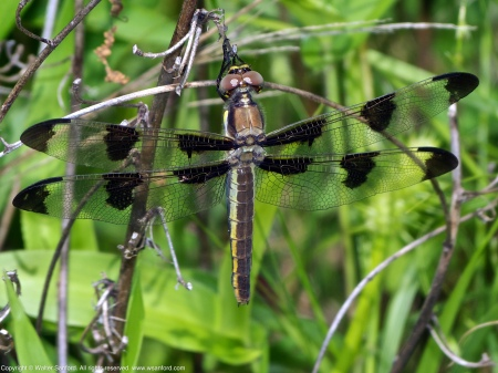 A Twelve-spotted Skimmer dragonfly (Libellula pulchella) spotted at Huntley Meadows Park, Fairfax County, Virginia USA. This individual is a female.