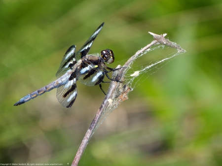 A Twelve-spotted Skimmer dragonfly (Libellula pulchella) spotted at Huntley Meadows Park, Fairfax County, Virginia USA. This individual is a young male.