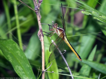 A Needham's Skimmer dragonfly (Libellula needhami) spotted at Huntley Meadows Park, Fairfax County, Virginia USA. This individual is a young female.