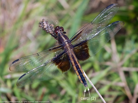 A Widow Skimmer dragonfly (Libellula luctuosa) spotted at Meadowood Recreation Area, Fairfax County, Virginia USA. This individual is a female.