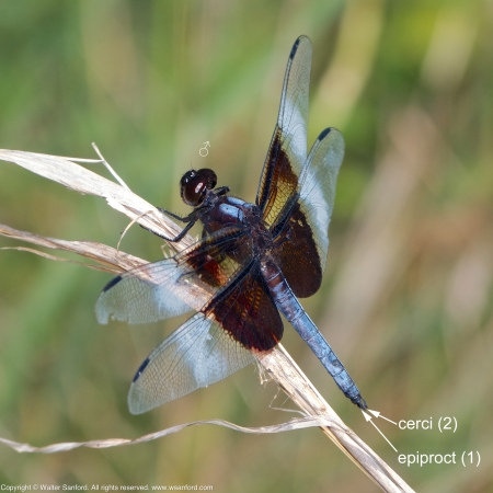 A Widow Skimmer dragonfly (Libellula luctuosa) spotted at Meadowood Recreation Area, Fairfax County, Virginia USA. This individual is a male.