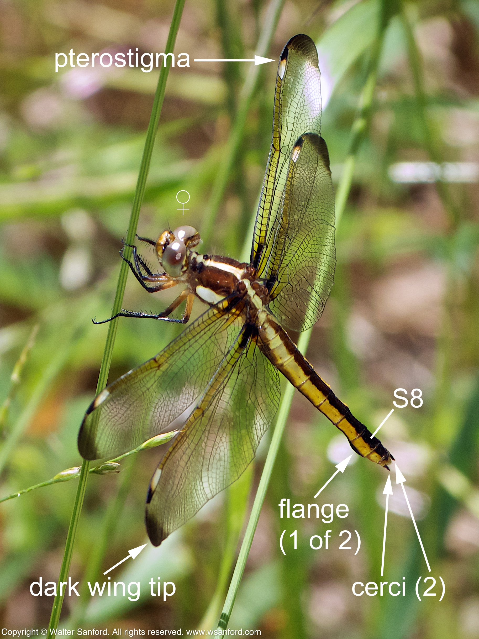 Spangled Skimmer dragonfly terminal appendages | walter ... - photo#23