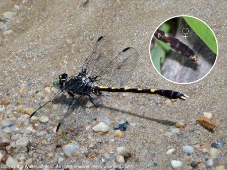 A Common Sanddragon dragonfly (Progomphus obscurus) spotted at Wickford Park, Fairfax County, Virginia USA. This individual is a male.