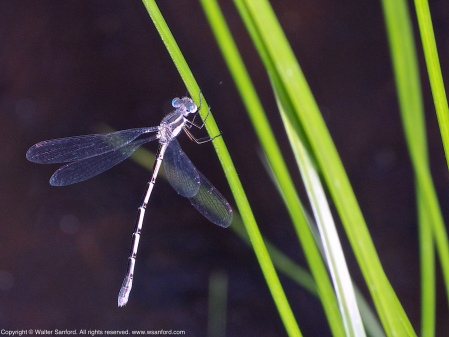 A Southern Spreadwing damselfly (Lestes australis) spotted at Huntley Meadows Park, Fairfax County, Virginia USA. This is the female member of a mating pair, resting after laying eggs (oviposition).